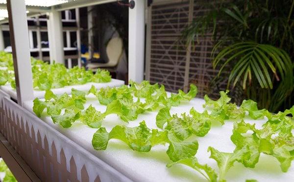 Hướng dẫn trồng rau thủy canh tĩnh ngay tại nhà