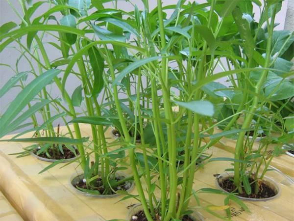 rau muống trồng bằng dung dịch trồng rau thủy canh dạng bột tc-mobi